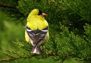 american-goldfinch-photos-generate-media-coverage